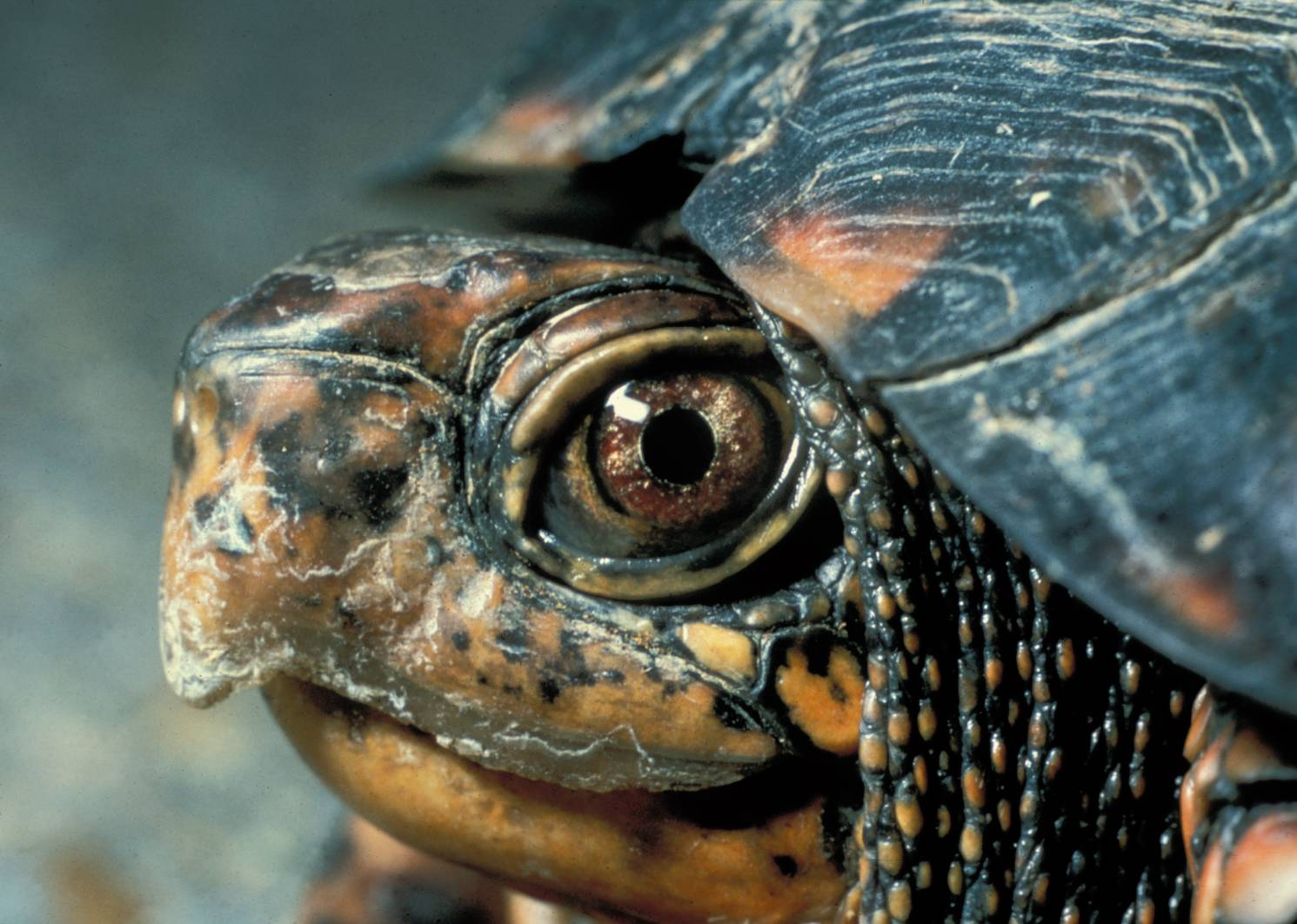Eastern_Box_Turtle_Head