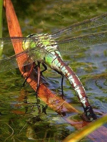 Emporor_Dragonfly