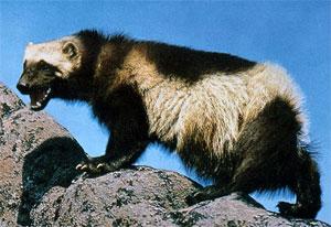 Sentinel Druid of Winter's Wolverine Companion
