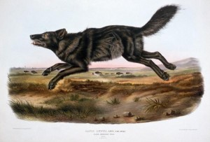 An illustration of a black wolf from The Viviparous Quadrupeds of North America by John James Audubon and John Bachman, originally published in three volumes (1845-1848)