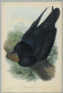 John Gould - Corvus Corax - Raven