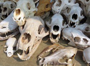 animal-skulls